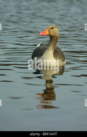 Graugans / greylag goose - Stock Photo