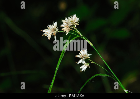Luzula nivea, Snowy Wood-rush - Stock Photo
