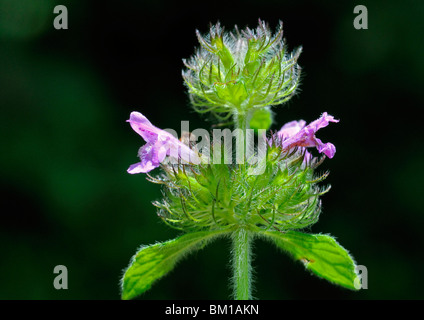 Clinopodium vulgare, Wild Basil - Stock Photo