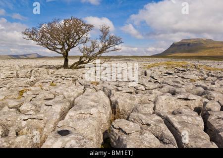Tree growing through the limestone of White Scars, Ingleton, Yorkshire Dales National Park, Yorkshire, England, - Stock Photo