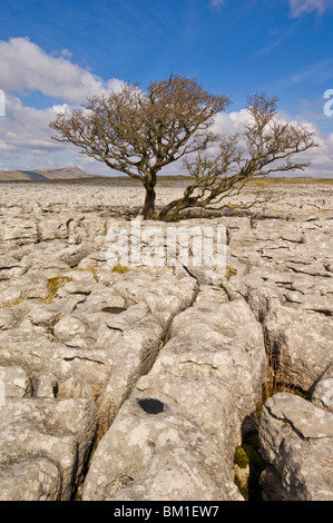 Tree growing through the Limestone pavement of White Scars, Yorkshire Dales National Park, Yorkshire, England, United - Stock Photo