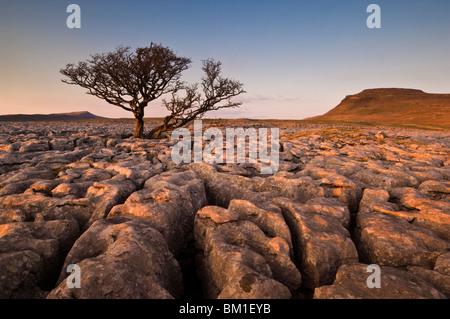 Tree growing through the limestone of White Scars at sunset, Ingleton, Yorkshire Dales National Park, England, United - Stock Photo