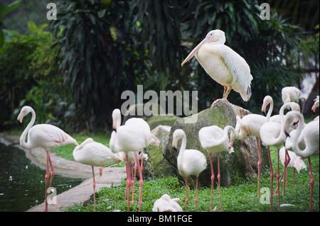 Pelican and flamingos, KL Bird Park, Kuala Lumpur, Malaysia, Southeast Asia, Asia - Stock Photo