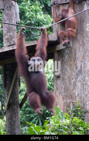 Cid, a wild Orang Utan at Sepilok Orang Utan Rehabilitation Centre, Borneo, Malaysia, Southeast Asia, Asia - Stock Photo