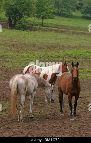 Pferde auf der Weide / three horses - Stock Photo