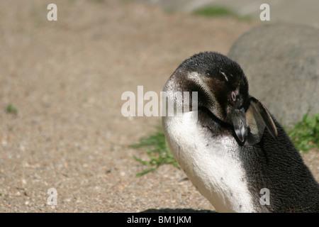 sich putzender Pinguin / cleaning penguin - Stock Photo