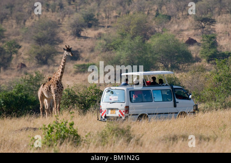 Tourists on safari watching giraffes, Masai Mara National Reserve, Kenya, East Africa, Africa - Stock Photo