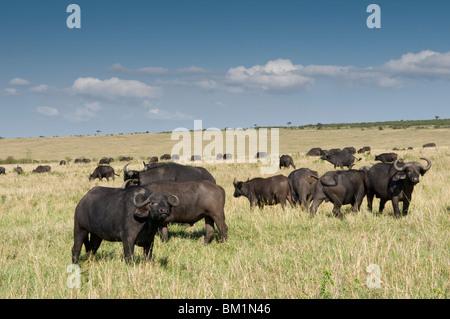 Cape buffalo (Syncerus caffer), Masai Mara National Reserve, Kenya, East Africa, Africa - Stock Photo