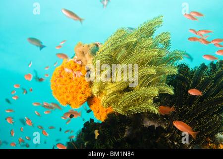 Anthias fish Pseudanthias squamipinnis Underwater Sea Life at Verde Island near Puerto Gallera  Philippines  SE - Stock Photo