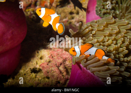 False Clown Anemonefish Amphiprion ocellaris  Similan Islands National Marine Park  South of Phuket  Thailand  SE - Stock Photo