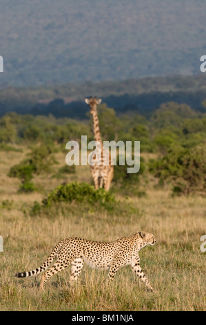 Cheetah (Acinonyx jubatus) and Masai giraffe (Giraffe camelopardalis), Masai Mara National Reserve, Kenya, East - Stock Photo