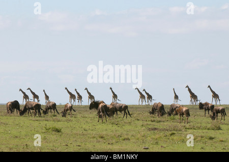 Masai giraffe (Giraffa camelopardalis), Masai Mara National Reserve, Kenya, East Africa, Africa - Stock Photo