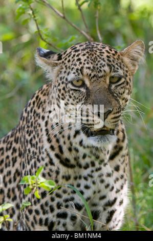 Leopard (Panthera pardus), Masai Mara National Reserve, Kenya, East Africa, Africa - Stock Photo