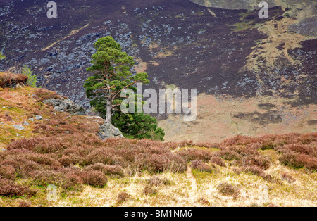 Scots Pine on mountainside in Glen Esk, Angus, Scotland, United Kingdom. - Stock Photo
