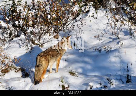 Coyote walking through snow, Kananaskis Country, Alberta, Canada, North America - Stock Photo