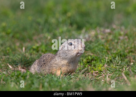European Souslik / European Ground Squirrel / European Suslik (Citellus citellus / Spermophilus citellus), Austria - Stock Photo