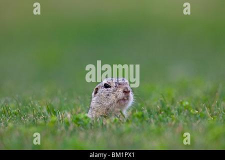 European Souslik / Ground Squirrel / Suslik (Citellus citellus / Spermophilus citellus) looking from burrow in meadow, Austria
