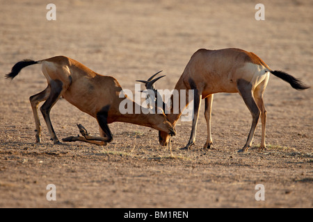 Two male red hartebeest (Alcelaphus buselaphus) sparring, Kgalagadi Transfrontier Park, South Africa - Stock Photo