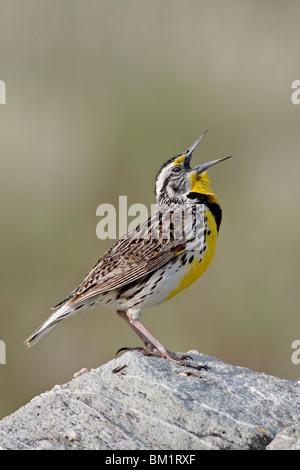 Western meadowlark (Sturnella neglecta) calling, Antelope Island State Park, Utah, United States of America, North - Stock Photo