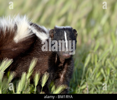 Striped skunk (Mephitis mephitis), Bear River Migratory Bird Refuge, Utah, United States of America, North America - Stock Photo