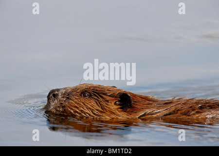 Beaver (Castor canadensis) swimming, Denali National Park and Preserve, Alaska, United States of America, North - Stock Photo