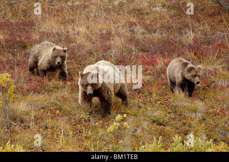 Grizzly bear (Ursus arctos horribilis) with two yearling cubs, Denali National Park, Alaska, United States of America - Stock Photo