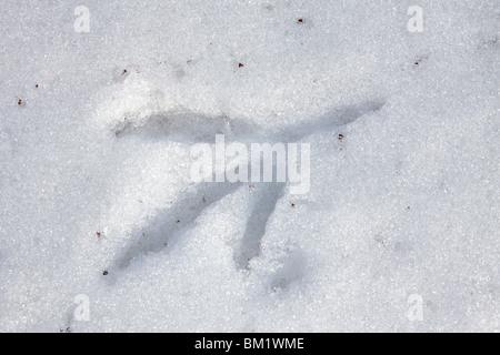 Eurasian Bittern / Great Bittern (Botaurus stellaris) footprints in the snow in winter, Austria - Stock Photo