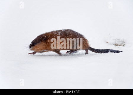 Muskrat (Ondatra zibethicus) running in the snow in winter - Stock Photo