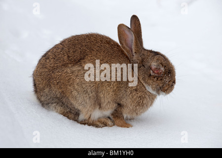Rabbit (Oryctolagus cuniculus) in the snow in winter, infected with the Myxomatosis disease showing swelling around - Stock Photo
