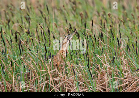 Eurasian Bittern / Great Bittern (Botaurus stellaris) standing in typical camouflage position in grassland, Austria - Stock Photo
