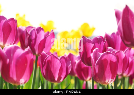 Blooming tulips on white background - Stock Photo