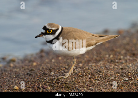 Adult Little Ringed Plover (Charadrius dubius), Lesvos (Lesbos), Greece - Stock Photo