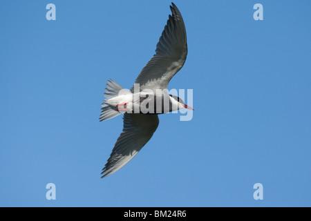 Adult Whiskered Tern (Chlidonias hybrida) in flight, Lesvos (Lesbos), Greece - Stock Photo
