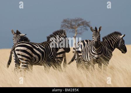 Zebras at Nechisar National Park, Arba Minch, Rift Valley region, Ethiopia, Africa - Stock Photo