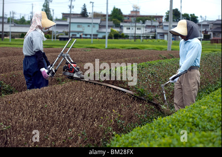 Green tea farmers pruning tea bushes in the Makinohara tea fields of Shizuoka Prefecture, Japan - Stock Photo