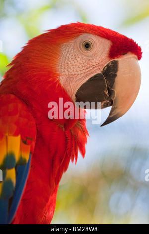 Scarlet macaw, Roatan, Bay Islands, Honduras - Stock Photo