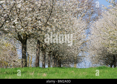 blossoming apple trees near Bilzen, Haspengouw Belgium - Stock Photo