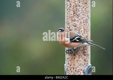 Fringilla Coelebs. Male chaffinch feeding on a bird seed feeder - Stock Photo