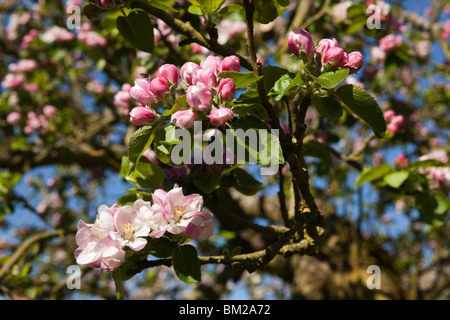 UK, England, Herefordshire, Putley Dragon Orchard, insect pollinating cider apple tree blossom in bud - Stock Photo