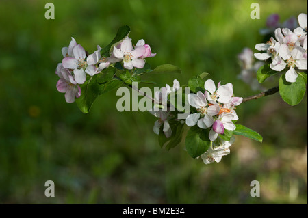 Early Victoria apple blooming in the spring in an orchard. - Stock Photo