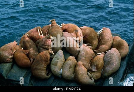 Herd of walrus (Odobenus rosmarus) sunbathing on the coast, Alaska, USA - Stock Photo