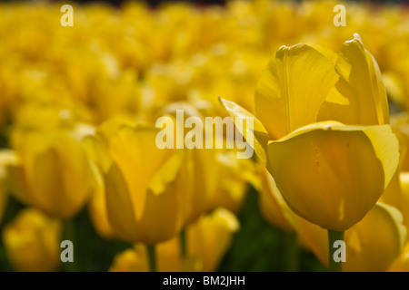 A field of Big yellow tulips blooming in Holland Michigan during a springtime from above top view isolated no not - Stock Photo