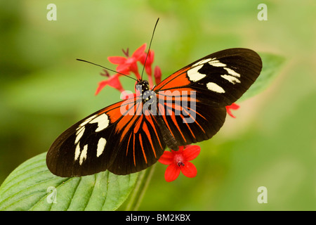 Postman butterfly (Heliconius melpomene madeira) pollinating a flower - Stock Photo
