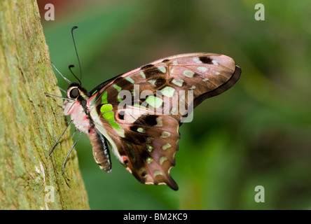 Close-up of a Tailed Jay butterfly (Graphium agamemnon) - Stock Photo