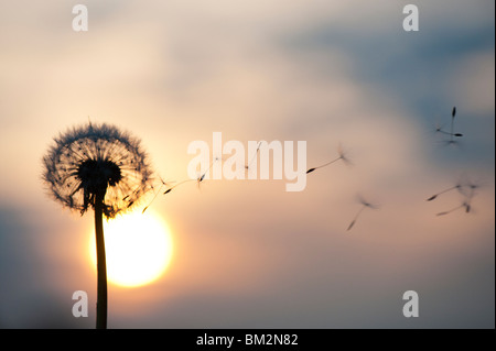 Dandelion seeds dispersing at sunset. Silhouette - Stock Photo