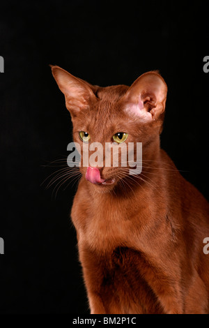 Orientalisch Kurzhaar Portrait / Oriental Shorthair Portrait - Stock Photo