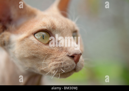 Ginger devon rex cat close up - Stock Photo