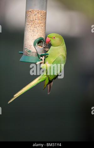 Ringnecked Parakeet, Psittacula krameri, on garden nut feeder, London, England, UK - Stock Photo