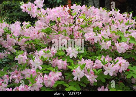 Pink rhododendron Schlippenbachii spring blossom - Stock Photo