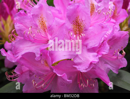 Purple spring rhododendron blossom - Stock Photo